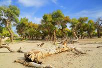 额济纳胡杨林下的千年枯树