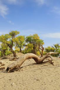 胡杨林中不朽的树干