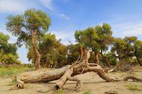 千年古树胡杨树干与绿林