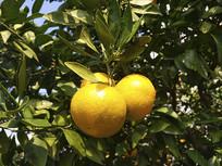 树上桔子瓜果