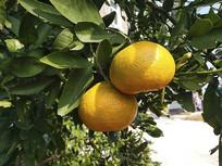 枝头橘子果