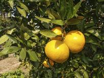 橘子挂满枝头