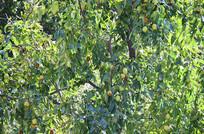 挂满果实的枣树
