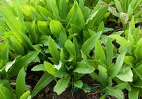 生长中的绿色蔬菜油麦菜