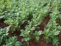土豆种植田间管护