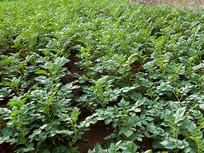 庄稼里种植的土豆