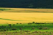农田草场牛群景观