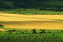 山野农田草场牛群