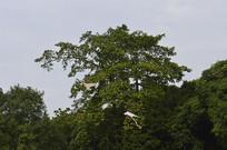 绿树天空风筝