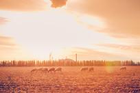 夕阳下的羊群
