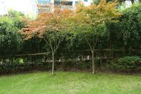 两棵被竹子围绕的枫树