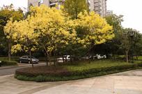 两棵黄色叶子的树木