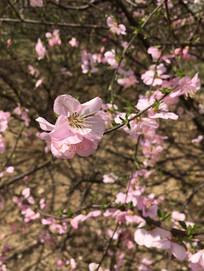 盛开的桃花