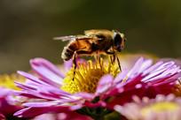 落在花蕊上的蜜蜂