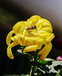 蜜蜂与菊花