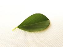 静物绿叶片
