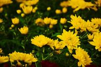 秋季多朵黄色菊花摄影图