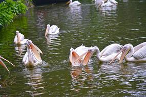 长嘴鸟在嬉水