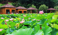 一片莲花池