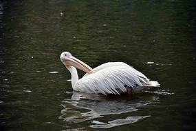 整理羽毛的水鸟