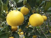 果园黄色橙子