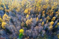 深秋的松桦混交林