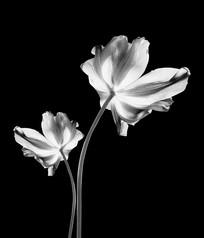 花卉黑白摄影