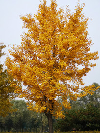 金黄色银杏树叶