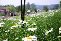 满山的菊花