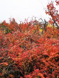 秋天红色树