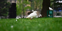 鸽子停在草地上