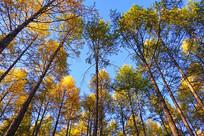松林金色秋叶