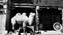 骆驼黑白摄影图