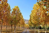 深秋梧桐树林