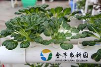 管道水培绿色蔬菜