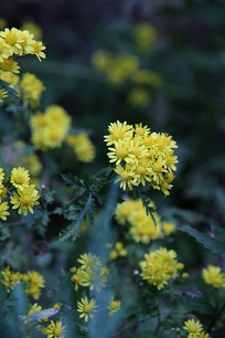 野菊花花朵
