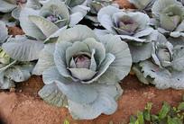 紫罗兰包菜