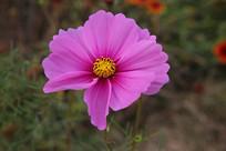紫色格桑花花朵