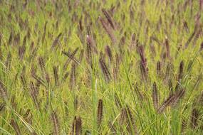紫色狗尾草草丛