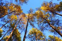 金色树叶的落叶松松林