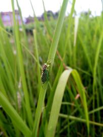 禾苗上的绿蝉