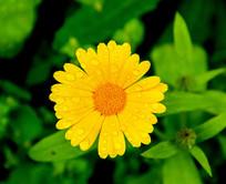 花卉金盏花