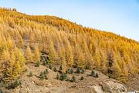 秋季金黄的树叶