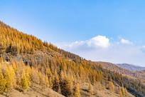 秋季蓝天下金黄的树叶