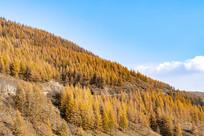 山上金黄色的枫树