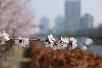 樱花枝绽放