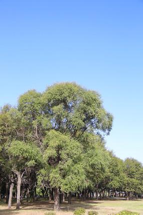 大树蓝天背景