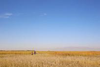 金秋麦浪芦苇海拍风景