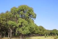 蓝天大树林绿草坡