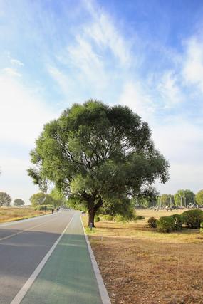 路边一颗大树